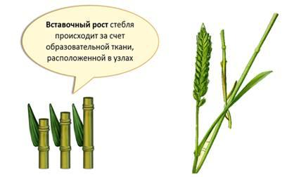 Междоузлия узел стебля пшеница