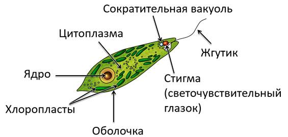 вольвокс не может осуществлять фотосинтез или может