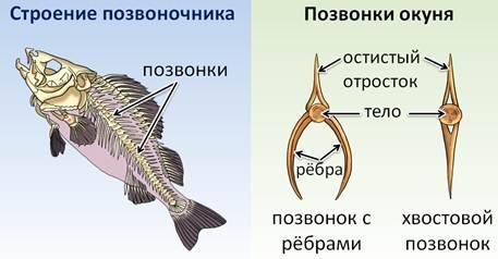 У хрящевых рыб нет позвоночника