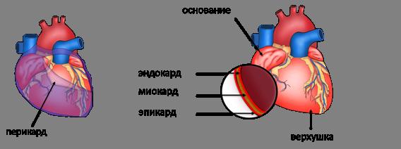 Воспаление сердечной сумки перикард