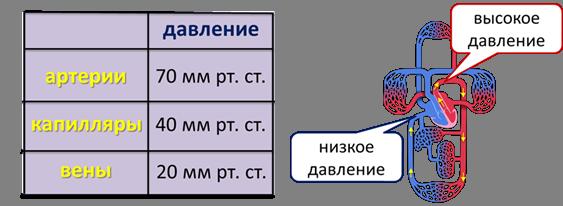 Изображение - Артериальное давление 8 класс image003