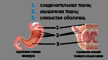 8 класс биология опорная схема урока пищеварение