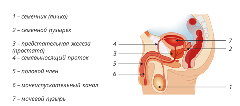 Урок строение женских половых органов видео фото 687-39